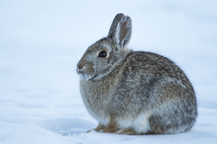 Cottontail just outside of Gardiner, MT