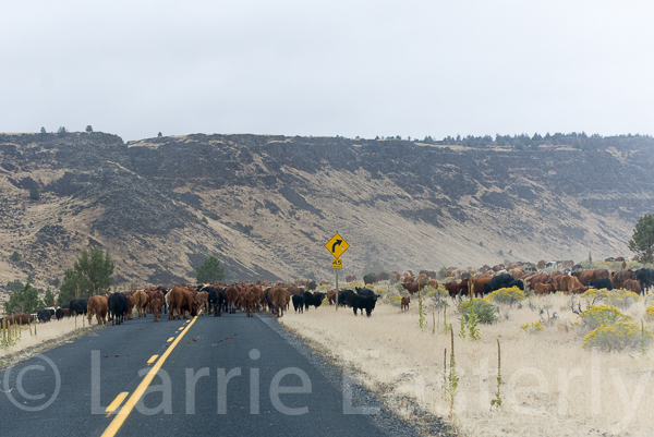 Cattle drive on Oregon 205 just south of Frenchglen.
